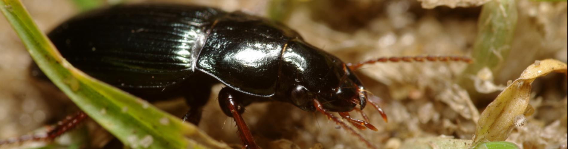 Czarne chrząszcze, szkodniki upraw - dzier włochaty