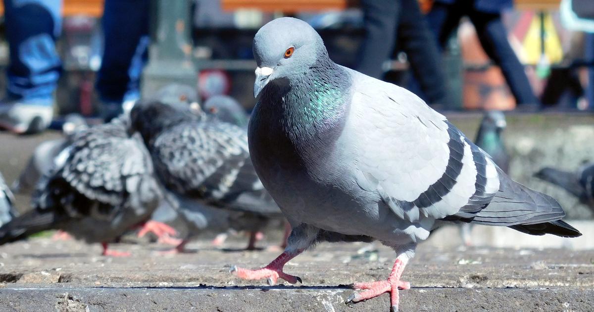 Gołębie i sposoby ich odstraszania