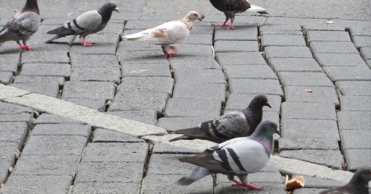 Gołębie, jakie stanowią dla nas zagrożenie