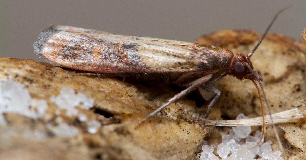 Insekty domowe i magazynowe, czyli co i kto uszkadza nasze produkty spożywcze