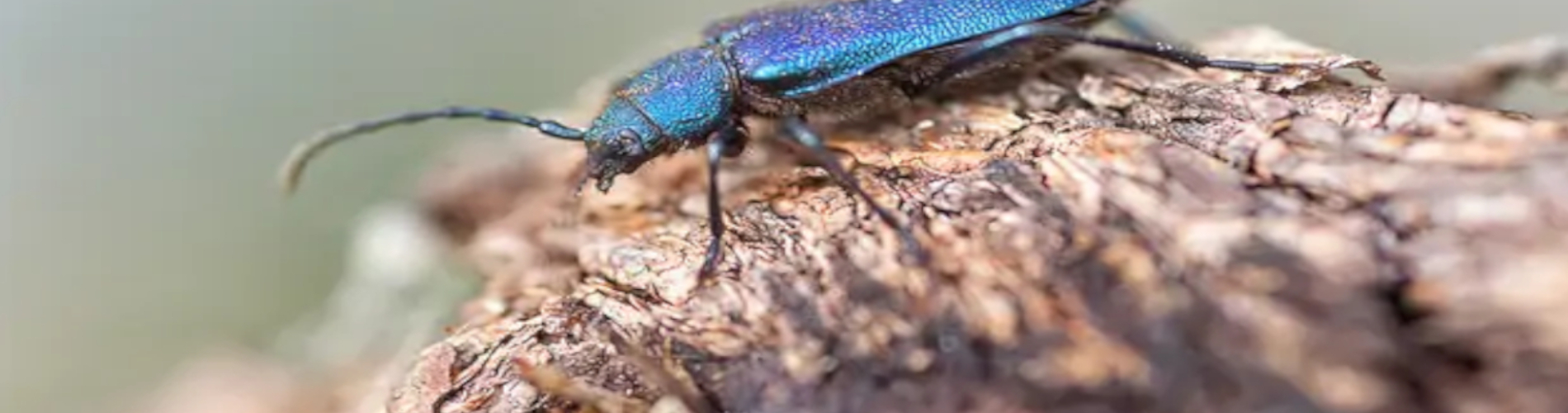 Kozkowate cerambycidae