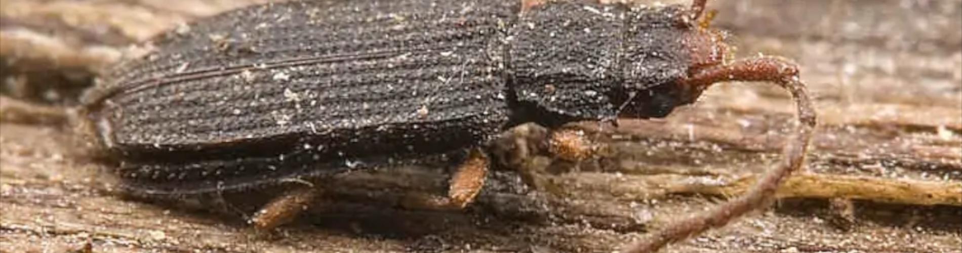Miazgowcowate lyctidae
