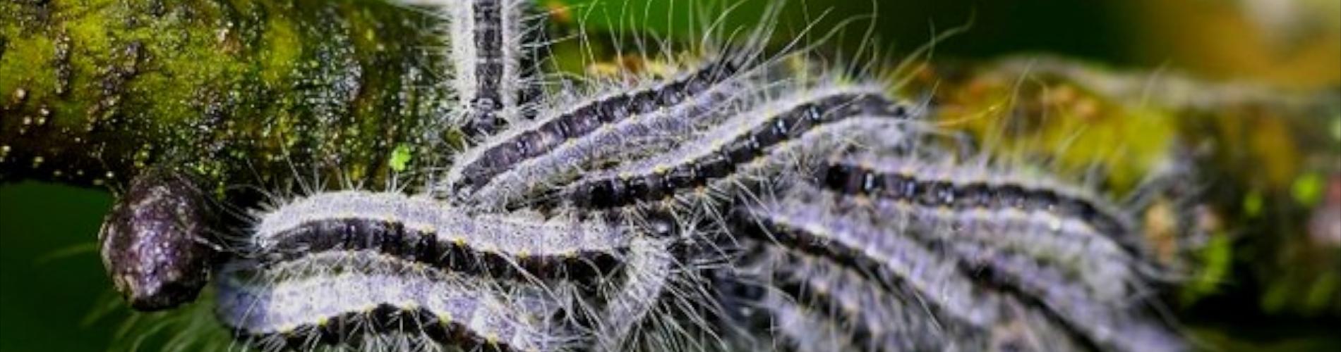 Parzące gąsienice, uwaga na korowodkowate