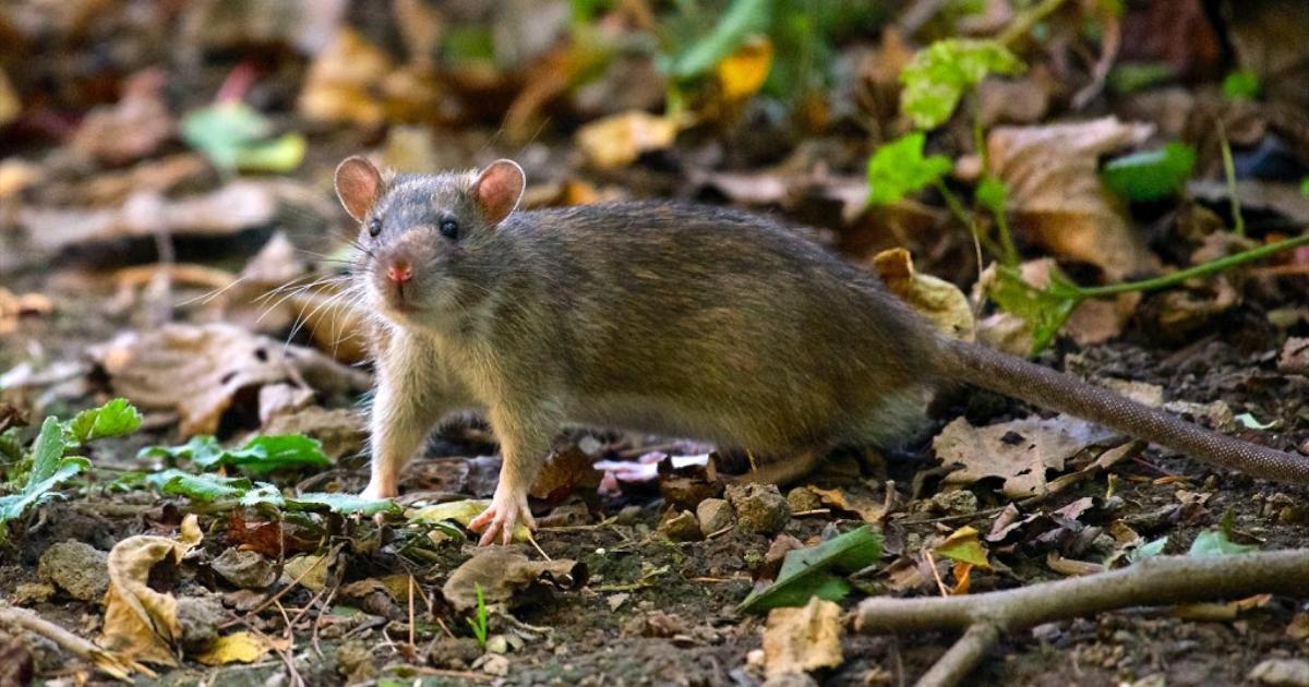 Szczury, jakie stwarzają zagrożenia i jak je zwalczać.