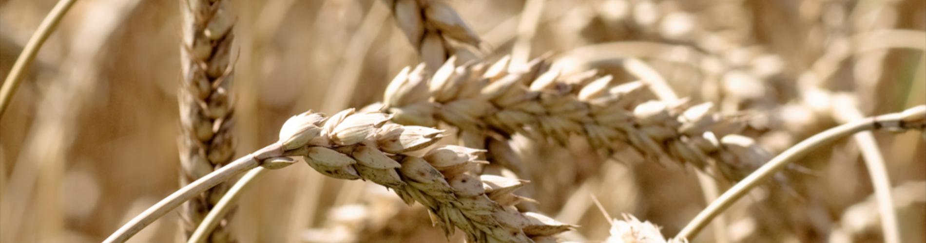 Szkodniki magazynowe zbóż
