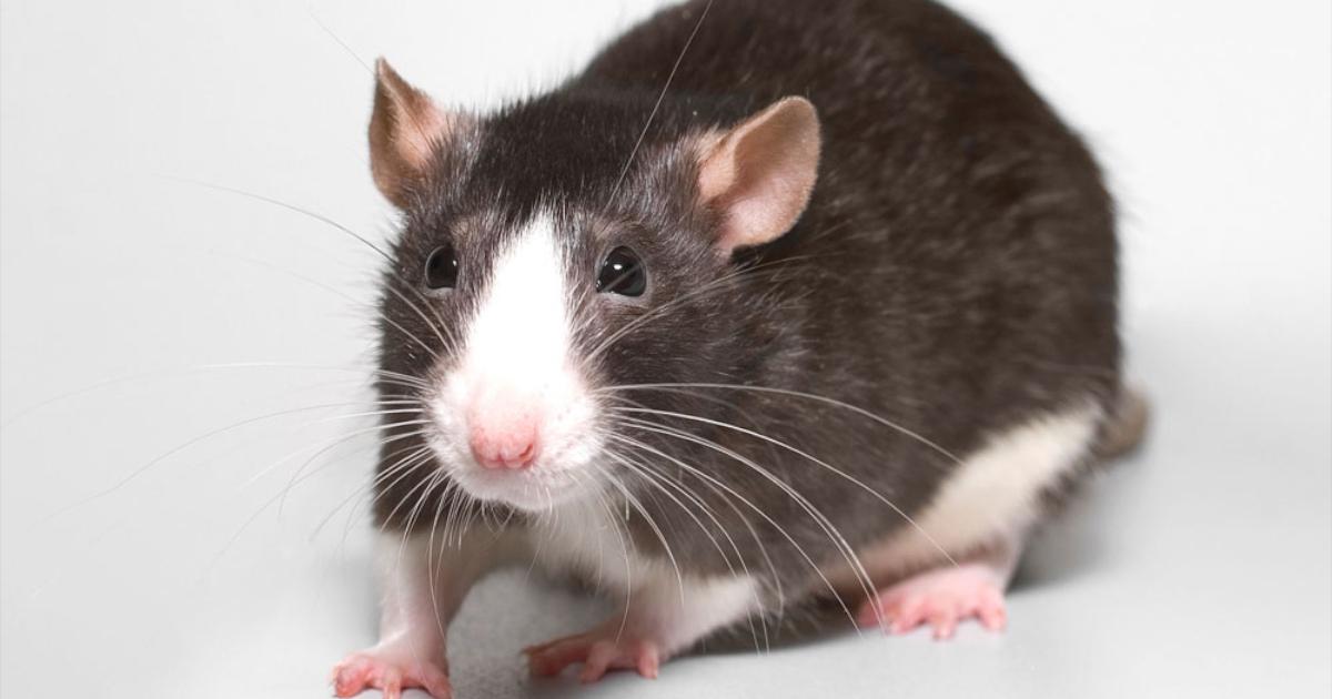 szczur-duzy