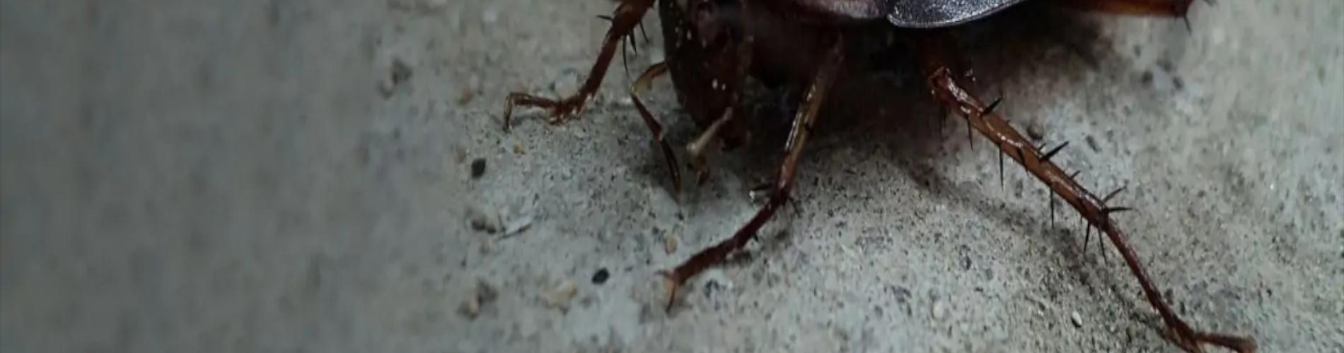 Zwalczanie prusaków i karaluchów