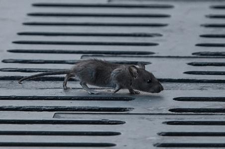 Szczur śniady